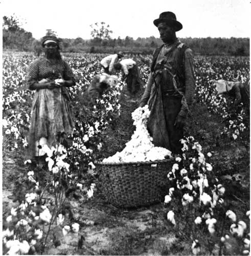 cotton south
